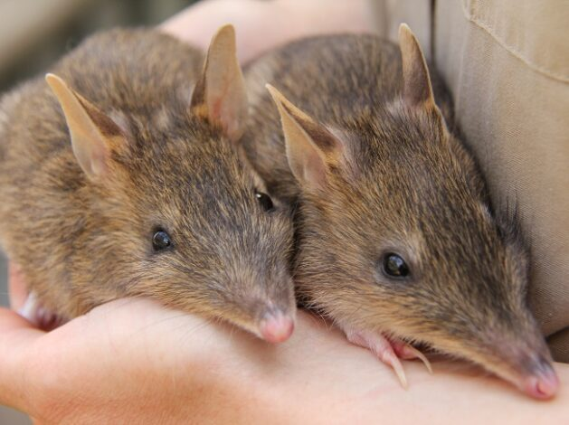 Citizen Science for the Bandicoot